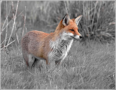 Salt Marsh Fox