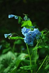 Heavenly Blue