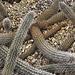 Creeping Devil, Take #2 – Desert Botanical Garden, Papago Park, Phoenix, Arizona
