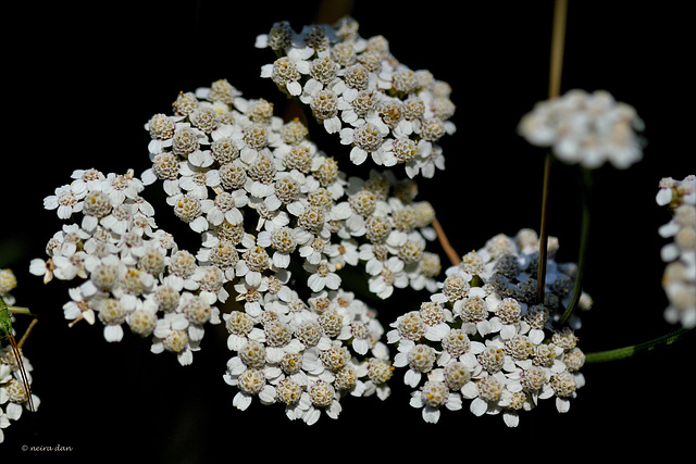 Achillée millefeuilles   ....Achillea millefolium
