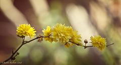 """Bachelor's Buttons (or Kerria Japonica """"Pleniflora"""")"""
