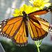 Monarch butterfly (Danaus plexippus)(m) 24-8-2015 ! The first this year here !