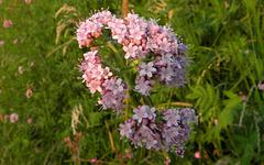 Valeriana Officinalis (Kamperfoeli familie)