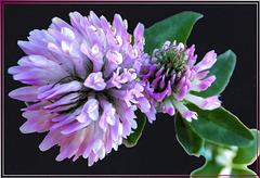 Kleeblüte lila. ©UdoSm