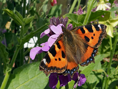 A Small Tortoiseshell sampling the Bolls Mauve.