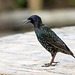 Starling asking for food