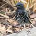 Starling close up