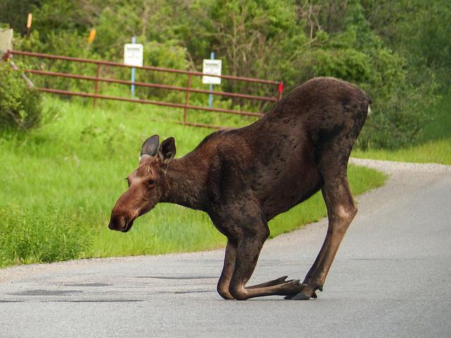 Moose kneeling to lick salt from the road