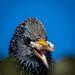 Starling close up 1