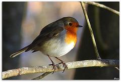 Robin... De lumière
