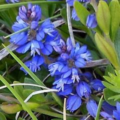Petite inconnue bleue / Tiny blue unknown flower