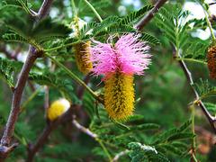 Blüte vom Farbkätzchenbaum