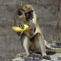 Detail zu trauriger Affe am Strick...