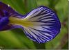 Iris graminea - détail.