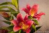 Oriental Pico Lily Topaz Filter-001