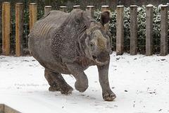 Sani saust durch den Schnee (Wilhelma)