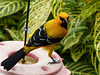 Yellow Oriole / Icterus nigrogularis, Asa Wright Nature Centre. Trinidad