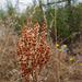 Rumex thyrsoides, Caryophyllales, HFF