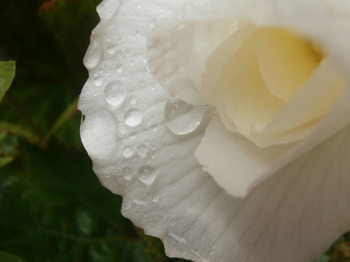 Just love the droplets off the white begonia