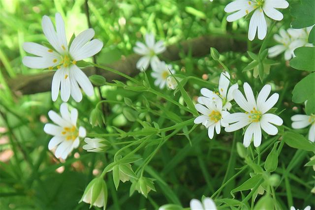 Stellaire holostée = Stellaria holostea, Caryophyllacées (Rhône, France)
