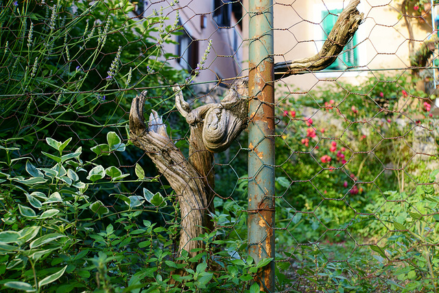 War der Zaun stärker?