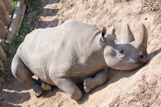 Sunbathing rhino