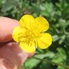 Renoncule bulbeuse = Ranunculus bulbosus, Renonculacées (Rhône, France)