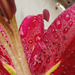 The oriental lily looks lovely in the rain