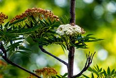 Baum vorm Fenster: Letzte Blüte (2 * PiP)