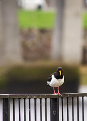 Two Years Ago Today, Oystercatcher