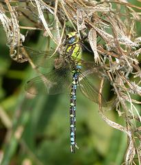 Aeschne bleue (Aeshna cyanea)