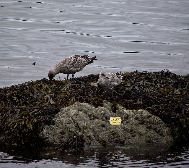 Grey gulls