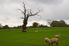 Lone tree near Church Eaton