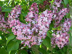 Lilac, purple-pink variety