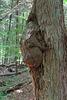 IMG 5817-001-Treehugger Burl