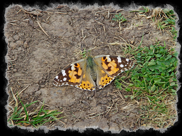 Painted Lady   /   Aug 2019