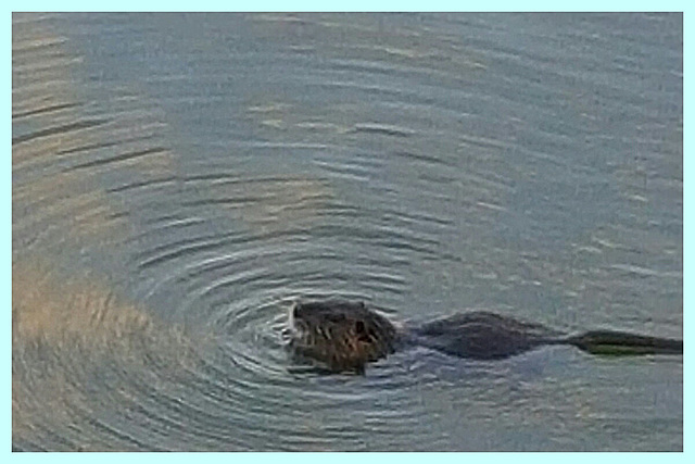 Ragondin et ronds dans l'eau