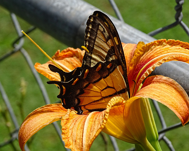 Eastern Tiger Swallowtail (Papilio glaucus)(f) ~ on a Day Lily