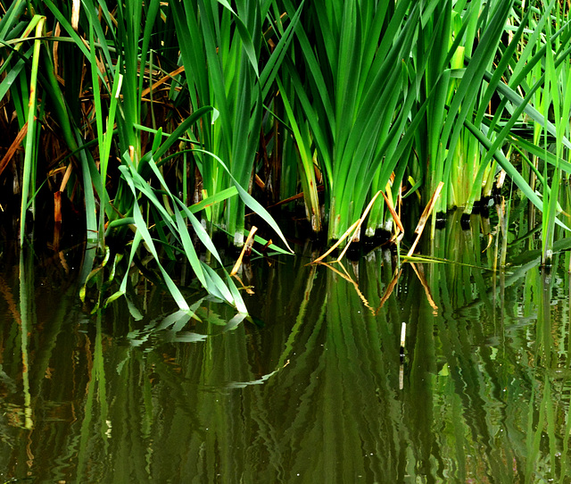 Reeds At The Dipping Pond 2