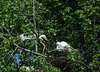 Egrets at a Rookery