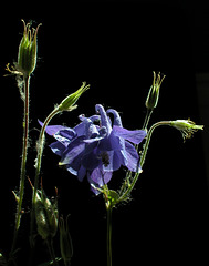 Blaue Akelei (Aquilegia vulgaris)
