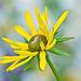 Rudbeckia Flower - Just Beginning to Open