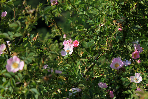 Rosa rubiginosa (1)
