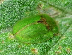 Beetle. Cassida rubiginosa