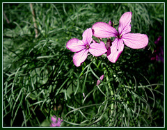 Honesty growing through wild fennel