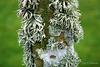 Ramalina and other lichens