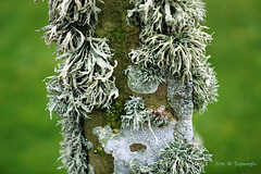 Ramalina and other lichens