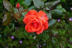 Rose und Knospe