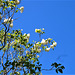 The white lilac near the house