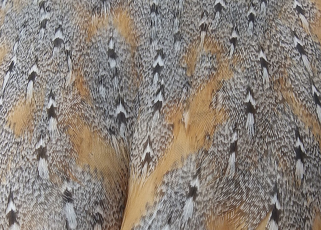 The back of a Barn Owl.